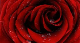A rose inspires smart way to collect and purify water
